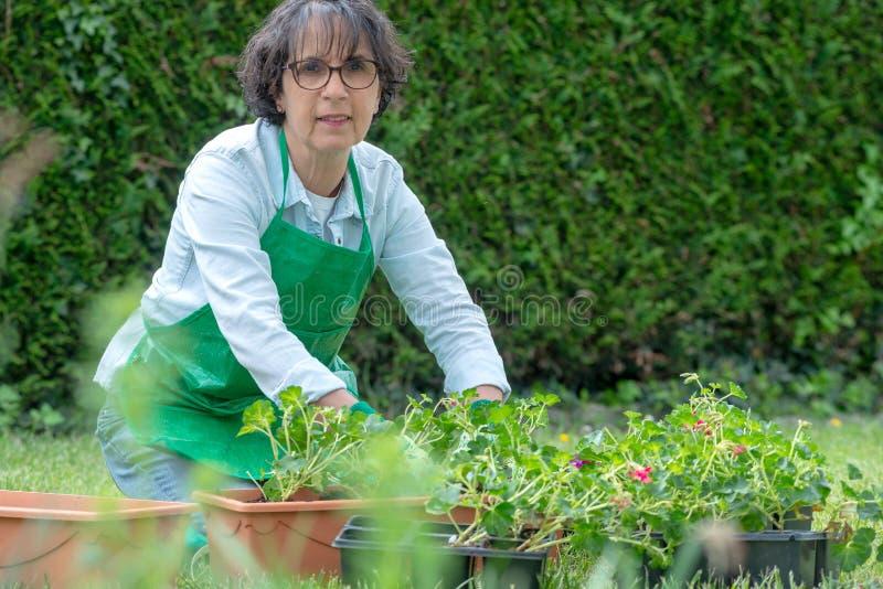 Frau Potting-Pelargonienblumen lizenzfreie stockfotografie