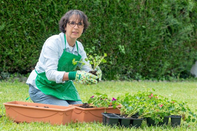 Frau Potting-Pelargonienblumen lizenzfreie stockbilder
