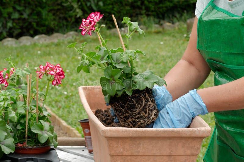 Frau Potting-Pelargonienblumen lizenzfreies stockbild