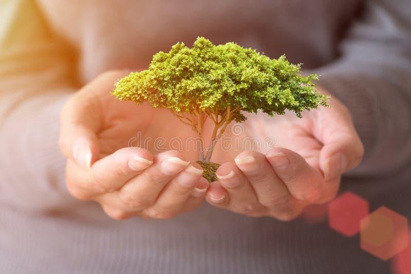 Frau ` s Hände hält einen kleinen Baum tageslicht stockbild