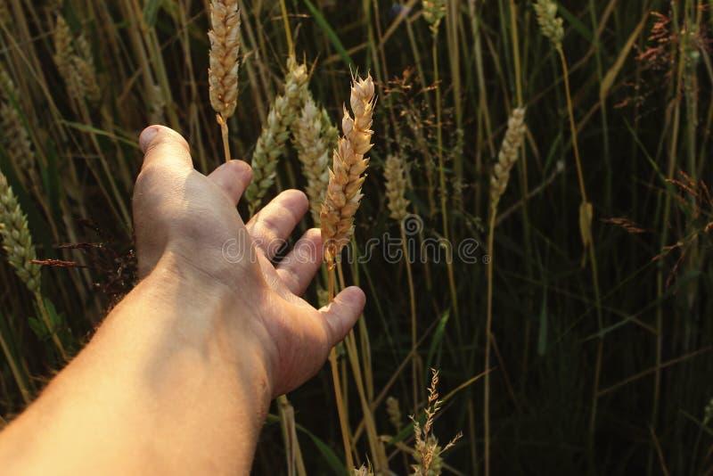 Frau ` s Hand, die zum Weizen auf dem Gebiet am Sommerabend an der Sonne erreicht lizenzfreies stockbild