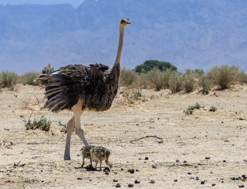 Frau und Baby afrikanischen Strauß Struthio Camelus lizenzfreies stockfoto