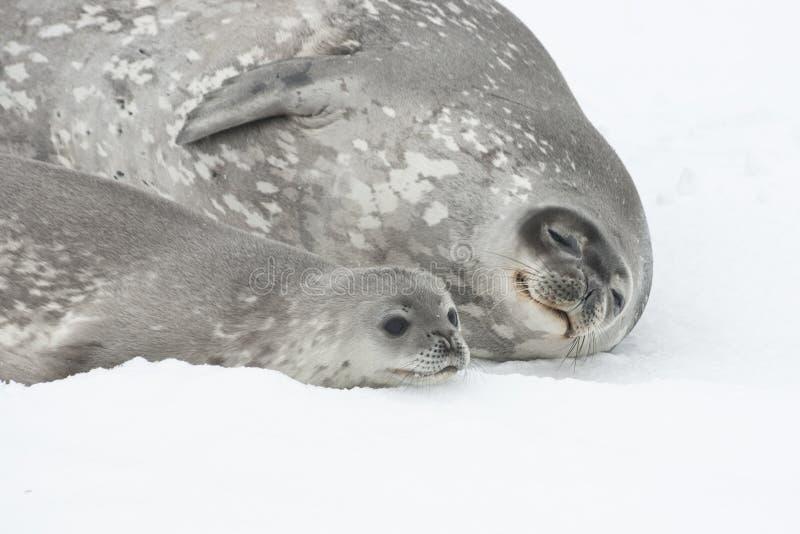 Frau und Schätzchen Weddell versiegeln das Lügen auf dem Eis von der Antarktis.