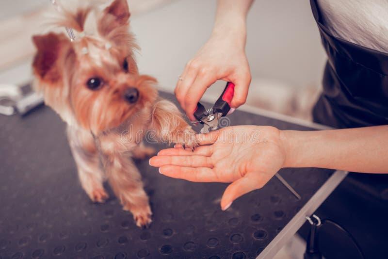 Frau unter Verwendung der Zangen während Ausschnittnägel für netten kleinen Hund stockbild