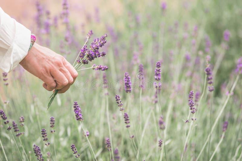 Frau zerreißt Lavendelblumen auf einem natürlichen Hintergrund, unscharfer Hintergrund, Raumtext lizenzfreie stockfotos