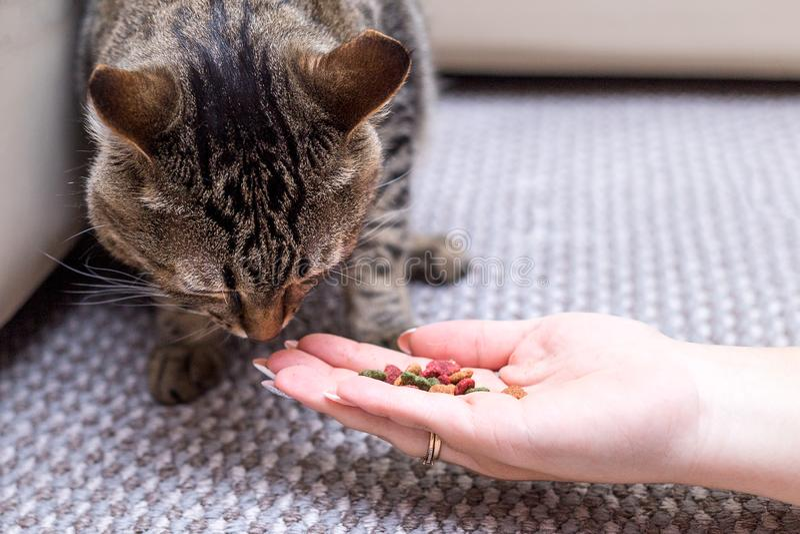 Frau zieht Katze, Katze isst von den Händen des Mädchens ein stockfotografie