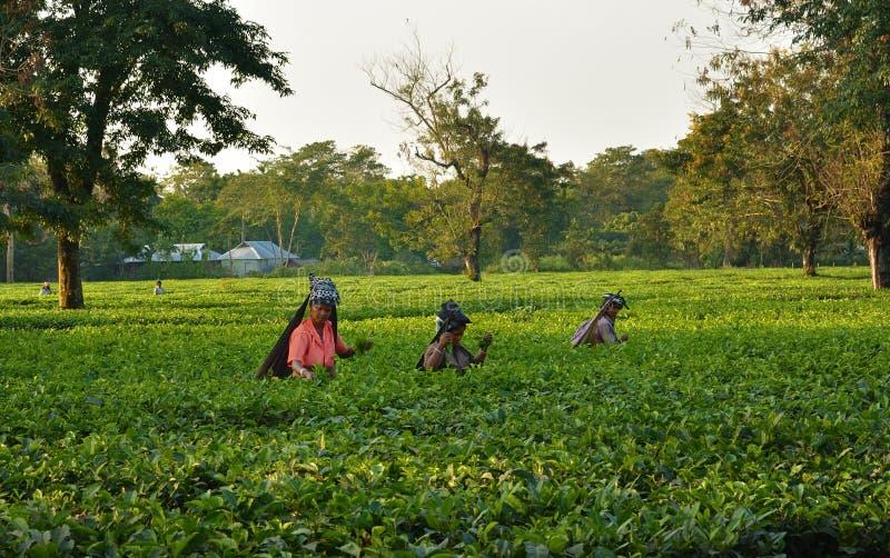 Frauen heben Teeblätter eigenhändig am Teegarten in Darjeeling, einer des besten Qualitätstees in der Welt, Indien auf stockfotografie