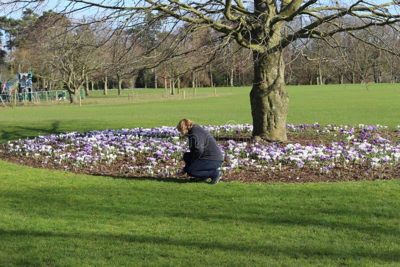 Frauen nahe bei einem Baum mit viel des blühenden Krokusses blüht, ein Park in Kilkenny Irland lizenzfreies stockfoto