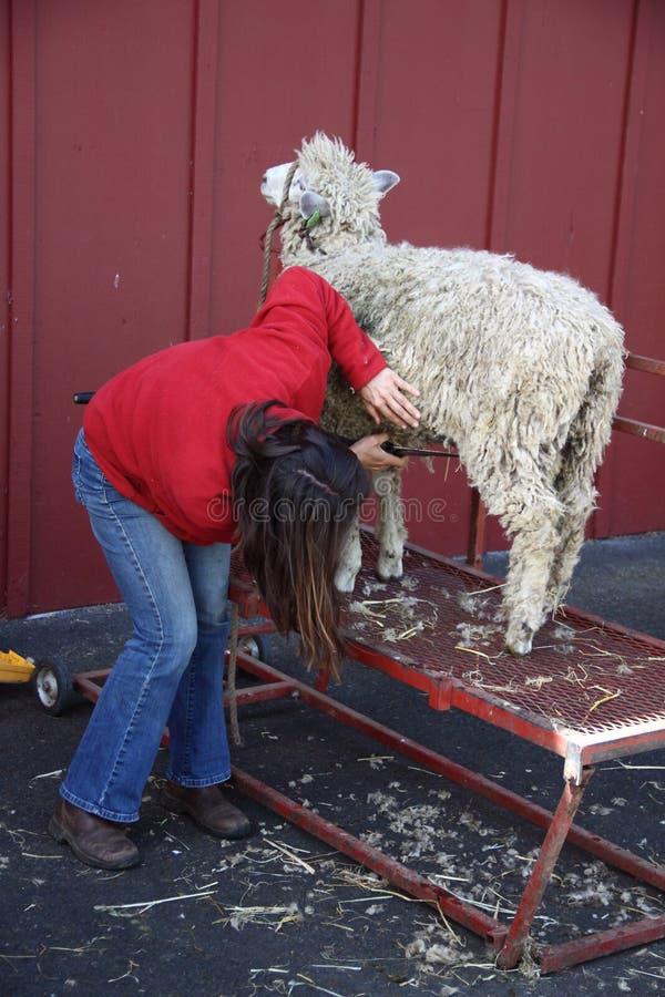 Frauen-scherende Schafe stockbilder