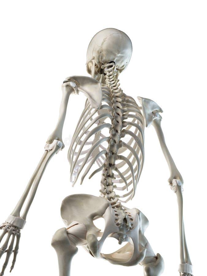 Frauen skelettartig zurück lizenzfreie abbildung