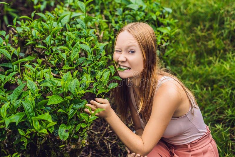 Frauen touristisch an einer Teeplantage Natürliche vorgewählte, frische Teeblätter im Tee bewirtschaften in Cameron Highlands, Ma stockfotografie