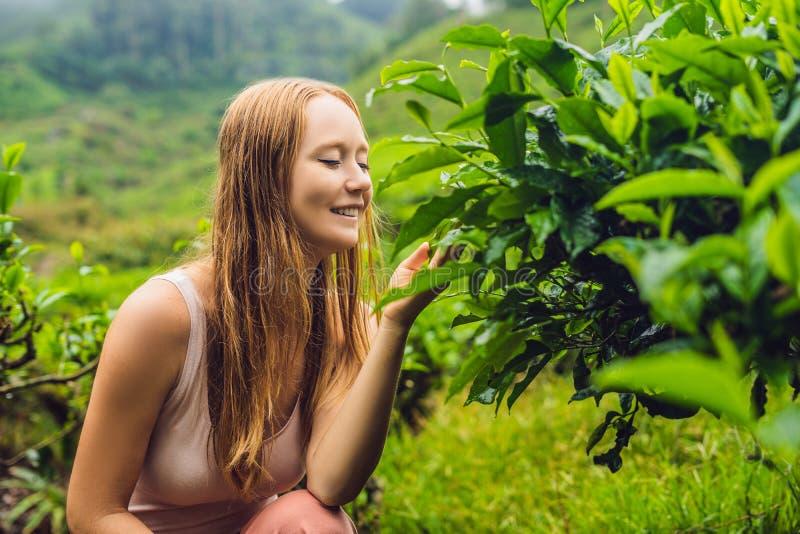 Frauen touristisch an einer Teeplantage Natürliche vorgewählte, frische Teeblätter im Tee bewirtschaften in Cameron Highlands, Ma lizenzfreies stockfoto