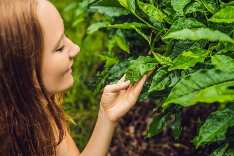 Frauen touristisch an einer Teeplantage Natürliche vorgewählte, frische Teeblätter im Tee bewirtschaften in Cameron Highlands, Ma stockfoto