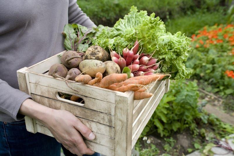 Frauen-tragende Kiste mit kürzlich geerntetem Gemüse stockfotos