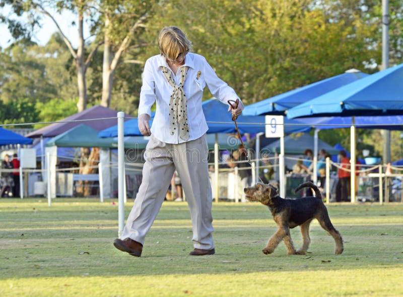Frauenaussteller gehender Welpe Airedales Terrier im Hundeshowring stockfotos