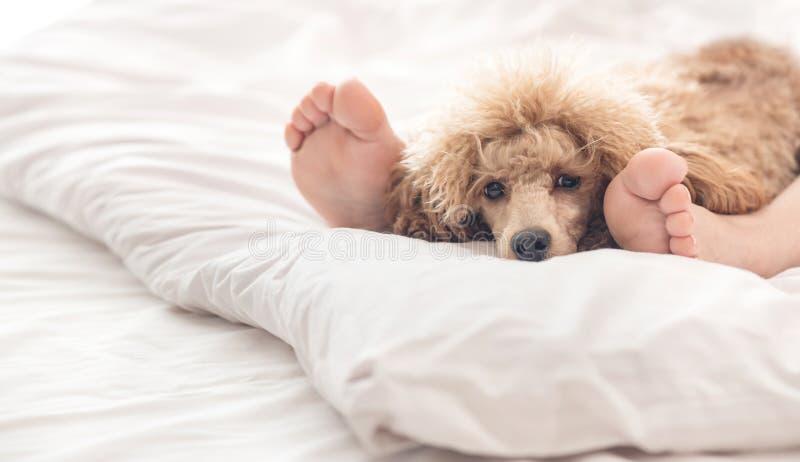 Frauenfüße auf dem Bett mit Pudelhund stockfotografie