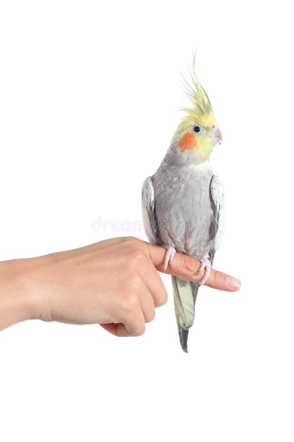 Frauenhand, die einen Cockatielpapageien mit dem Zeigefinger hält stockfotos