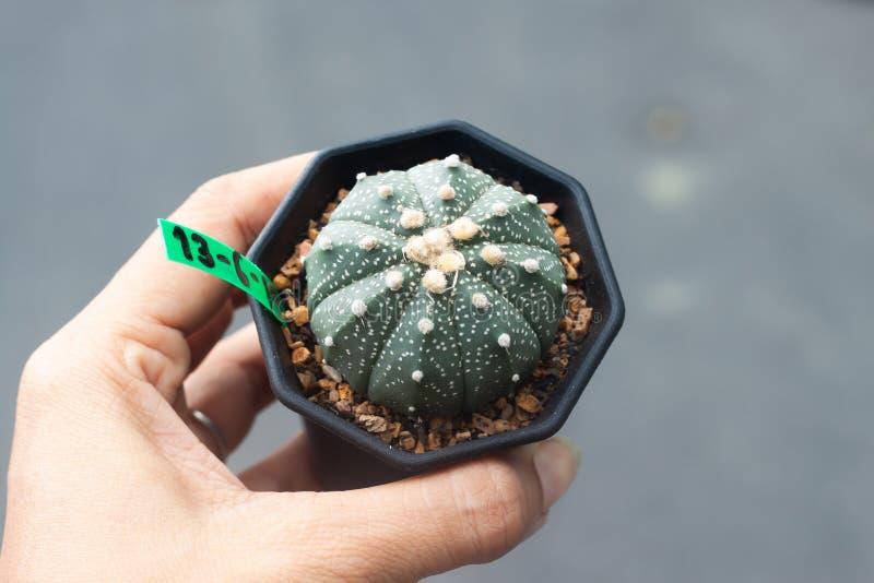 Frauenhand, die einen Topf von Astrophytums-Kaktus hält lizenzfreie stockfotografie