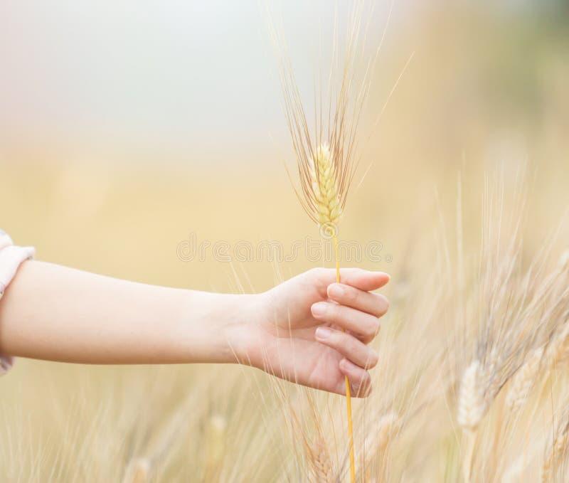 Frauenhand, die Gerste hält lizenzfreies stockbild