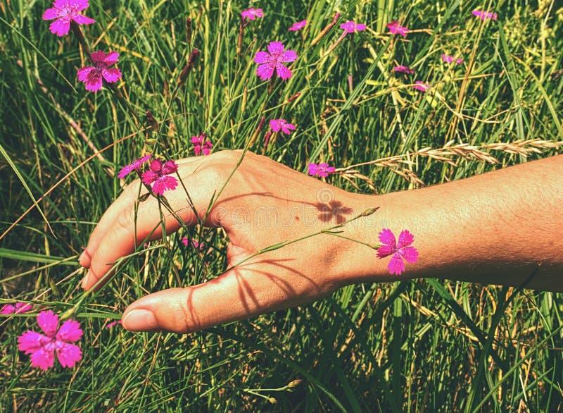 Frauenhandnote zur wilden Gartennelkenblume auf Wiese stockbild
