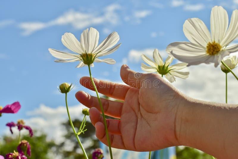Frauenhandrührende schöne weiße Kosmosblume in einem hellen Himmel stockfoto