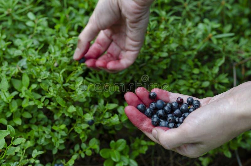 Frauenholding in den Handfrischen Blaubeeren auf dem Heidelbeerbuschhintergrund lizenzfreie stockfotos