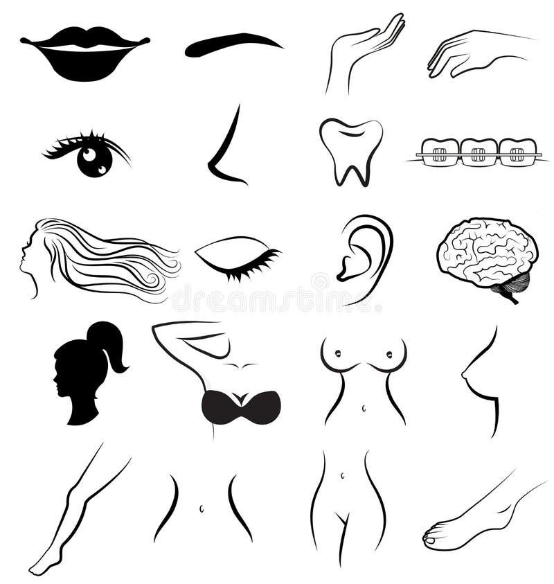 Frauenkörperteile menschlich lizenzfreie abbildung