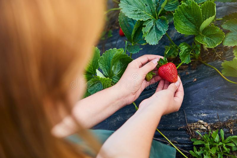 Frauenlandwirt, der auf einem Erdbeergebiet arbeitet Arbeitskraft wählt Erdbeeren aus lizenzfreie stockbilder
