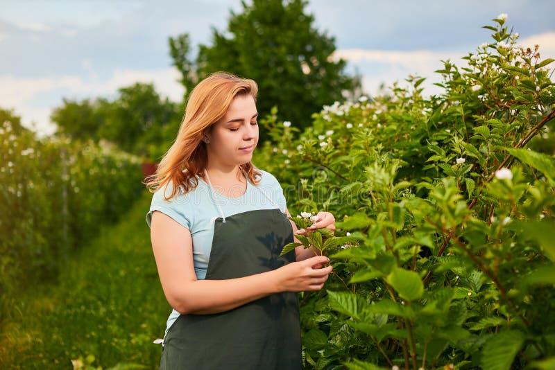 Frauenlandwirt, der im Fruchtgarten arbeitet Biologeninspektor überprüft Brombeerbüsche stockfotografie