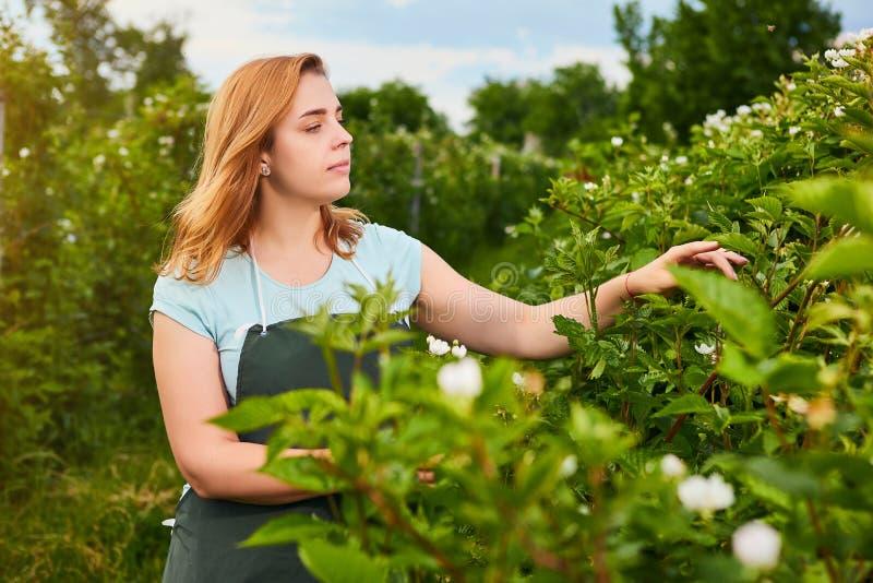 Frauenlandwirt, der im Fruchtgarten arbeitet Biologeninspektor überprüft Brombeerbüsche lizenzfreie stockfotografie