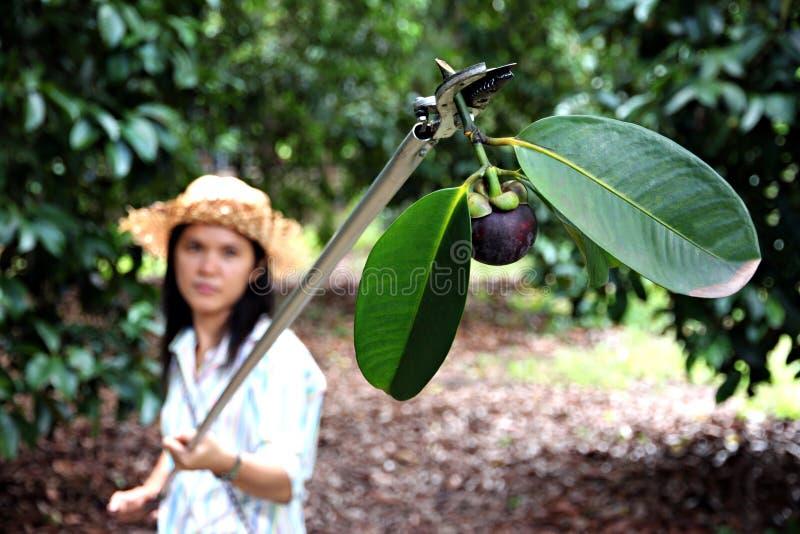 Frauenlandwirte ernten reife Mangostanfrucht im Obstgarten lizenzfreie stockbilder