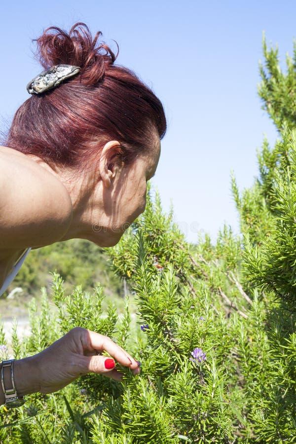 Frauenschnüffelnrosmarinstrauch stockfotos