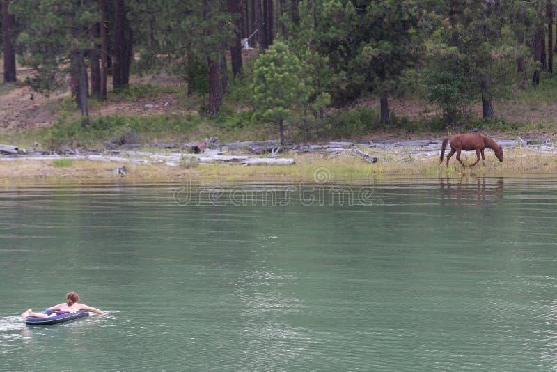 Frauenschwimmen in Richtung zum wilden Pferd an einem See stockbilder
