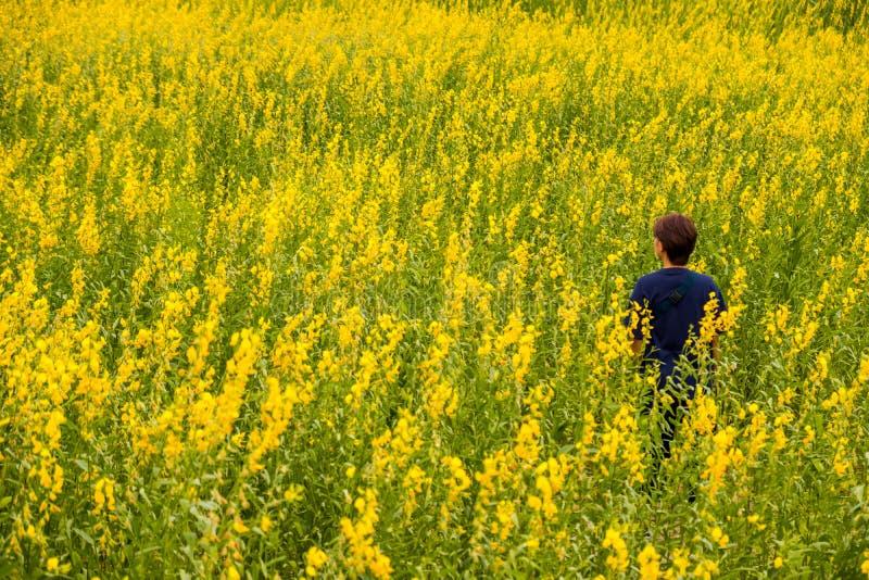 Frauenstand unter den Crotalaria juncea oder Sunn-Hanfblumenfeldern stockbild