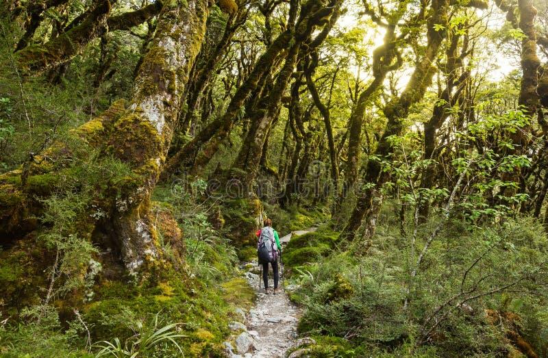 Frauenwanderer mit Rucksack gehend in Wald der gebürtigen Buche auf Niederlage stockbild