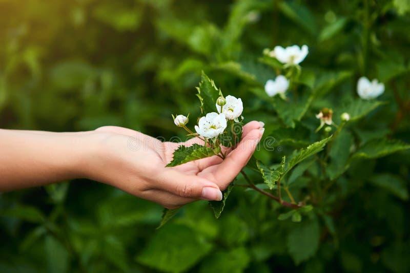 Frauenwissenschaftler, der im Fruchtgarten arbeitet Biologeninspektor überprüft Brombeerbüsche stockfoto