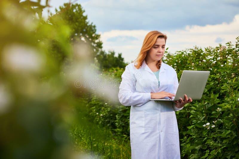 Frauenwissenschaftler, der im Fruchtgarten arbeitet Biologeninspektor überprüft Brombeerbüsche unter Verwendung des Laptops stockfotos