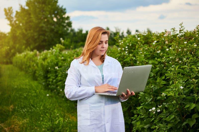 Frauenwissenschaftler, der im Fruchtgarten arbeitet Biologeninspektor überprüft Brombeerbüsche unter Verwendung des Laptops stockbilder