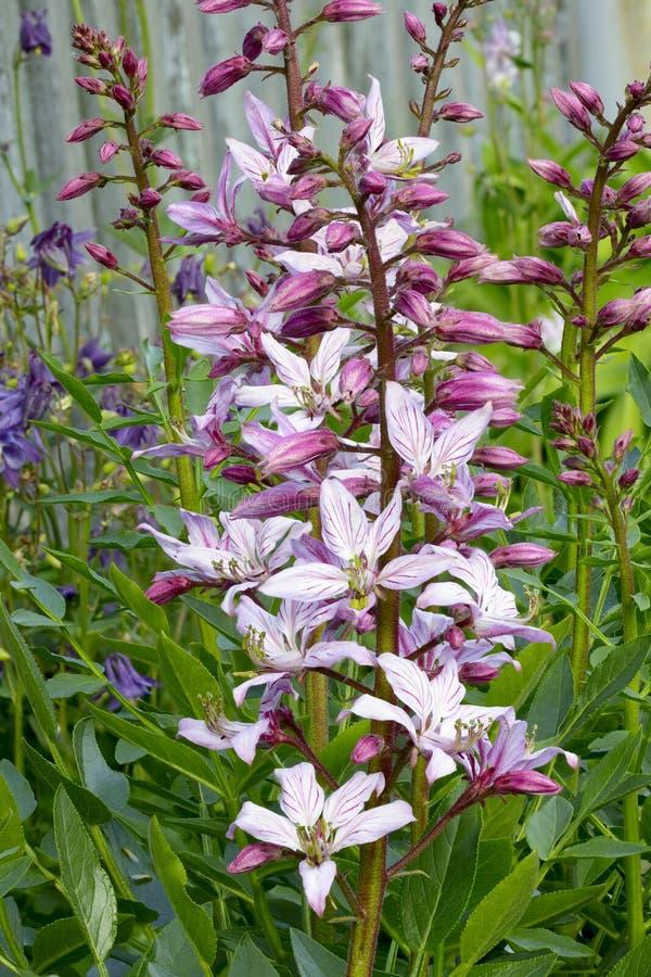fraxinella dittany dictamnus стоковая фотография rf