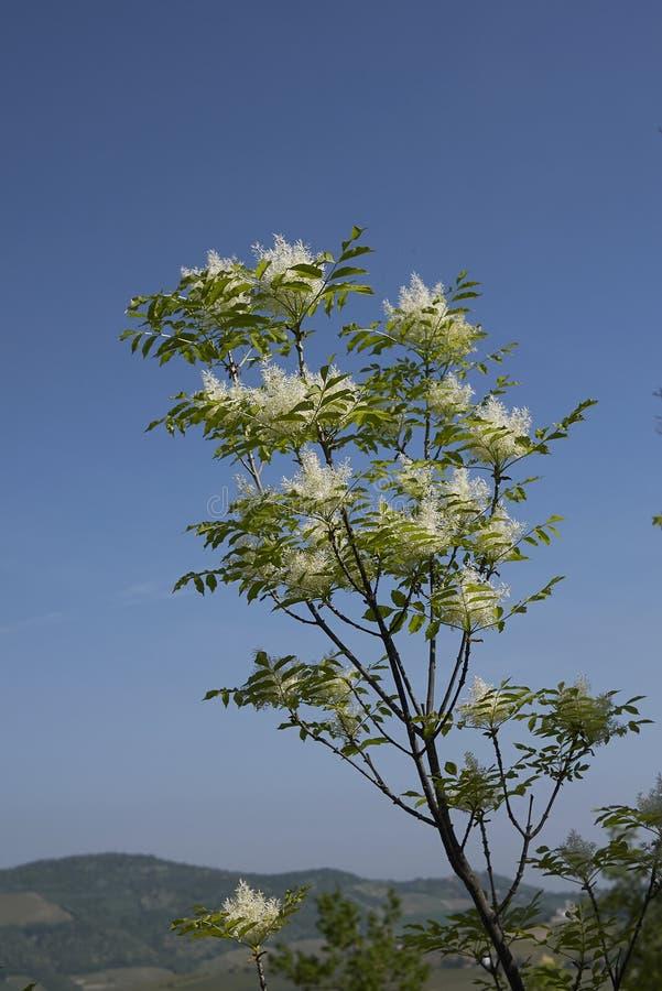 Fraxinus ornus Blüte lizenzfreie stockfotografie