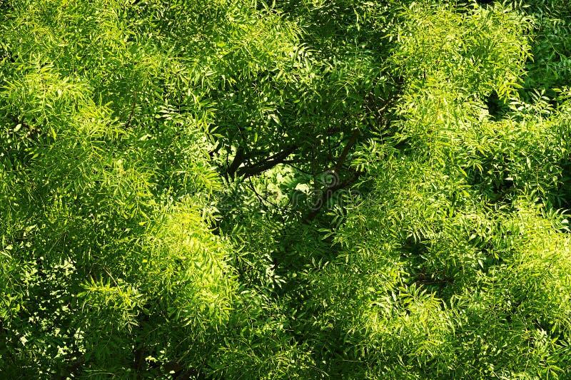Fraxinushobelspäne, allgemeine europäische Escheüberdachung mit grünem Laub Von der Luftdraufsicht der Eschekrone stockfotografie