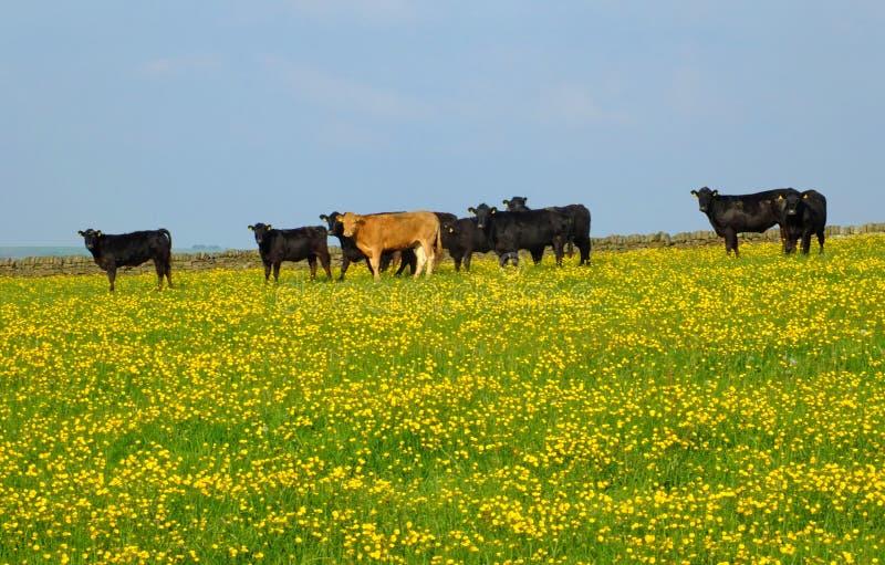 frazing在春天草甸的幼小母牛牧群可以与在草和蓝天的明亮的黄色花 库存照片