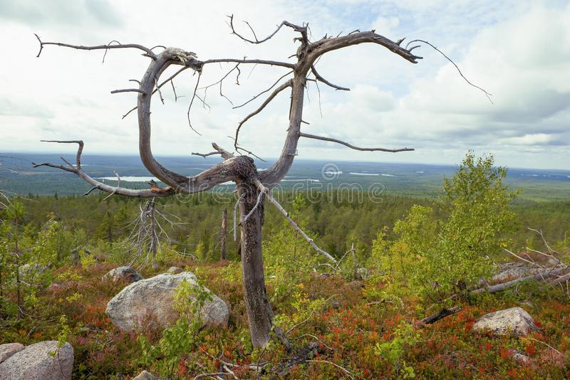 Freakish withered tree. Mount Vottovaara, Karelia. Freakish withered tree against the background of a forest landscape. Mount Vottovaara, Karelia royalty free stock photos