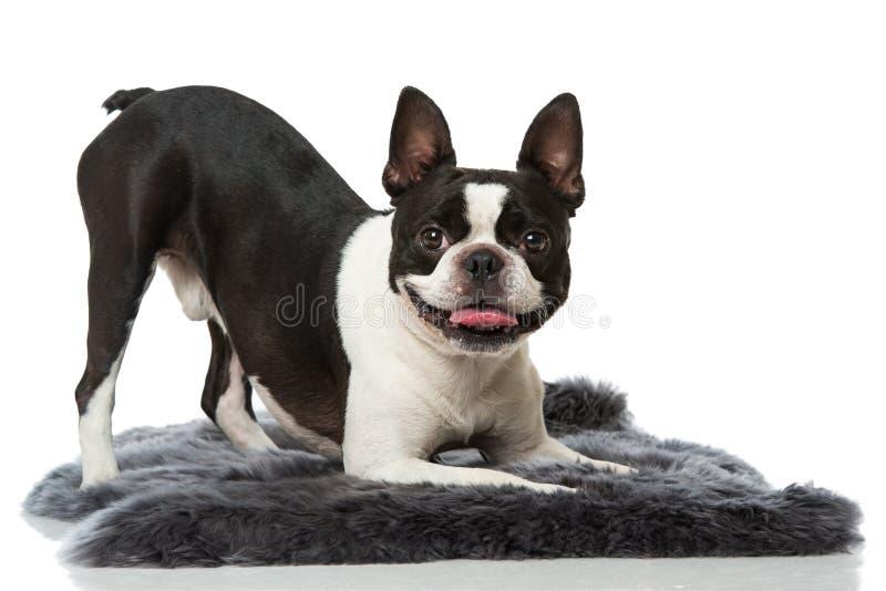 Frech牛头犬与 库存照片