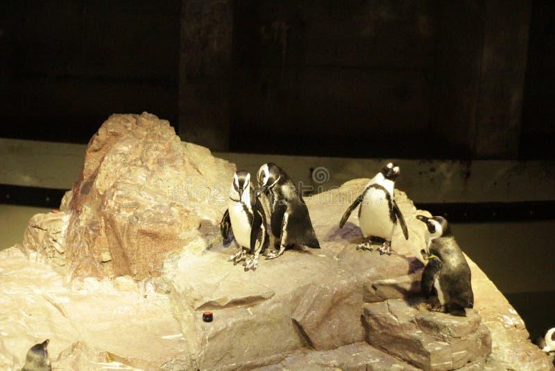 Freche Pinguine lizenzfreie stockbilder