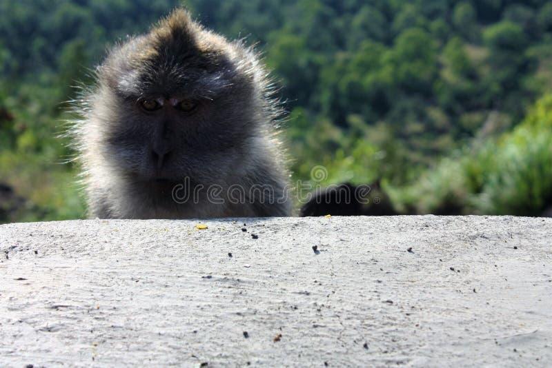 Frecher Affe, Indonesien lizenzfreie stockfotografie