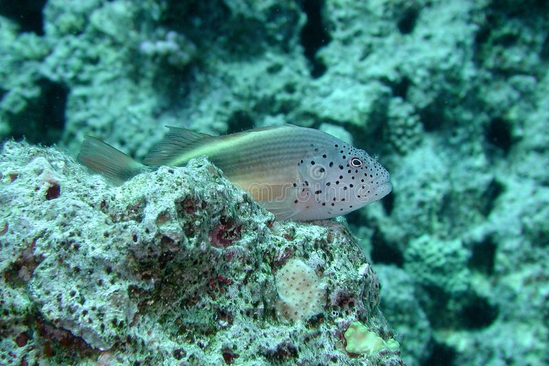 Download Freckled Hawkfish stock photo. Image of paracirrhites, coral - 154534