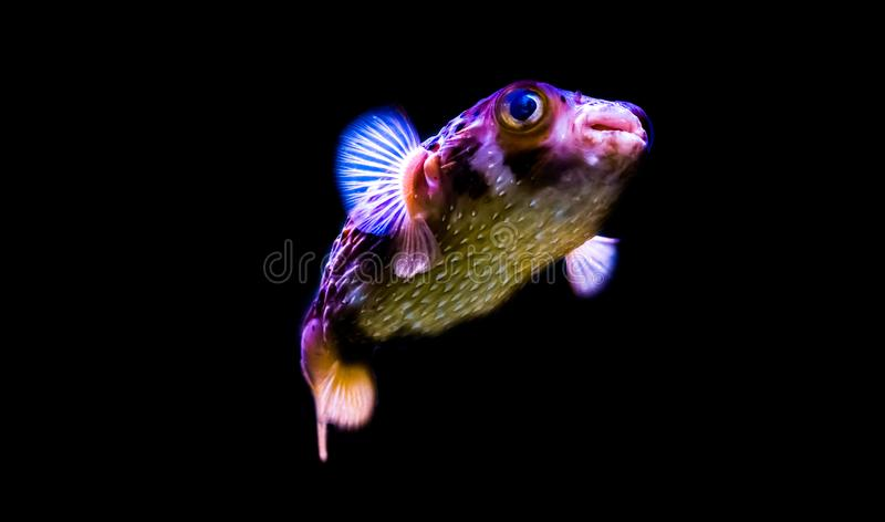 Freckled porcupine fish isolated on a black background, funny aquarium pet from the tropical ocean. A freckled porcupine fish isolated on a black background royalty free stock photography