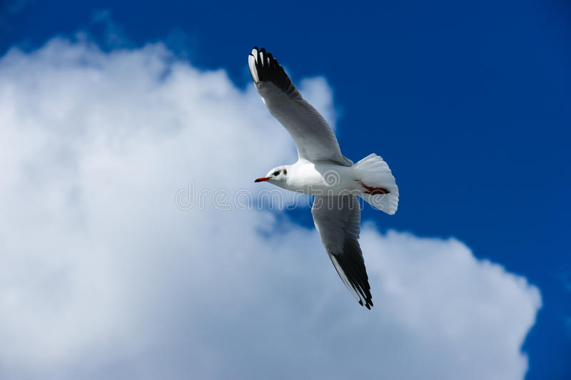 Free as a bird. A seagull (Chroicocephalus ridibundus) in winter plumage royalty free stock photos