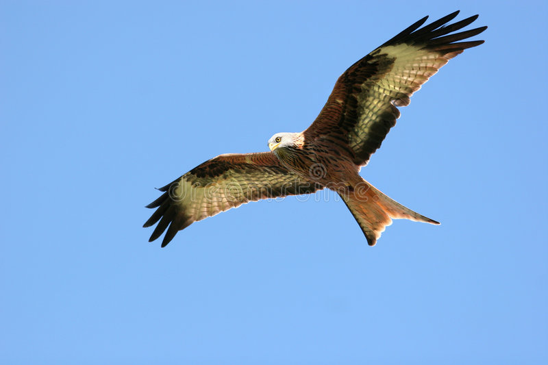 Free as a Bird. Red Kite eagle flying alone on a blue sky day